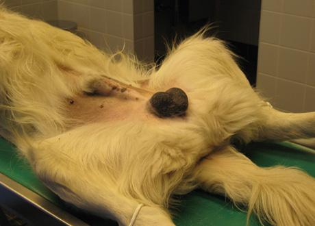 Castratie Van Een Hond