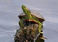 roodwangschildpad_2
